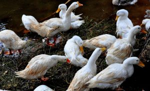 Ducks as pest control: Benefits, Downsides, Breed types and more