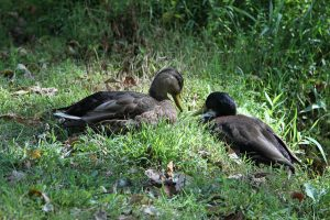Duclair duck | Breed Profile | Top 10 Individual Facts