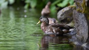 Types of ducks| the 6 main types of ducks | pictures| examples