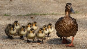 6 important things to know before getting a pet duck