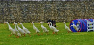 Guard ducks | Ducks of wrath – Indeed there are guard ducks