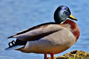 Lifespan of a Duck – All in one facts, age records and more