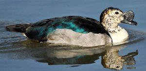 Comb Ducks