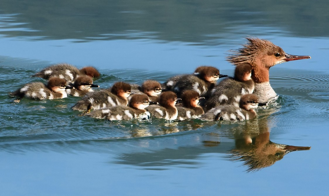 Common Merganser | behavior | feed and protection | species etc
