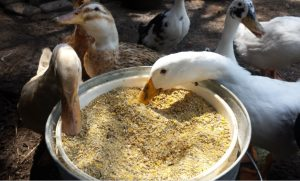 Duck food – All in one information including FAQS