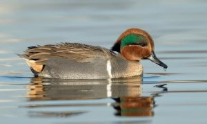 Green-winged teals
