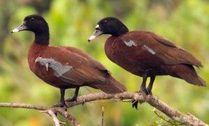 Hartlaubs Ducks