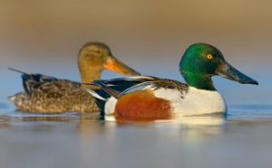 Dabbling ducks: 8 Things you probably didn't know about them