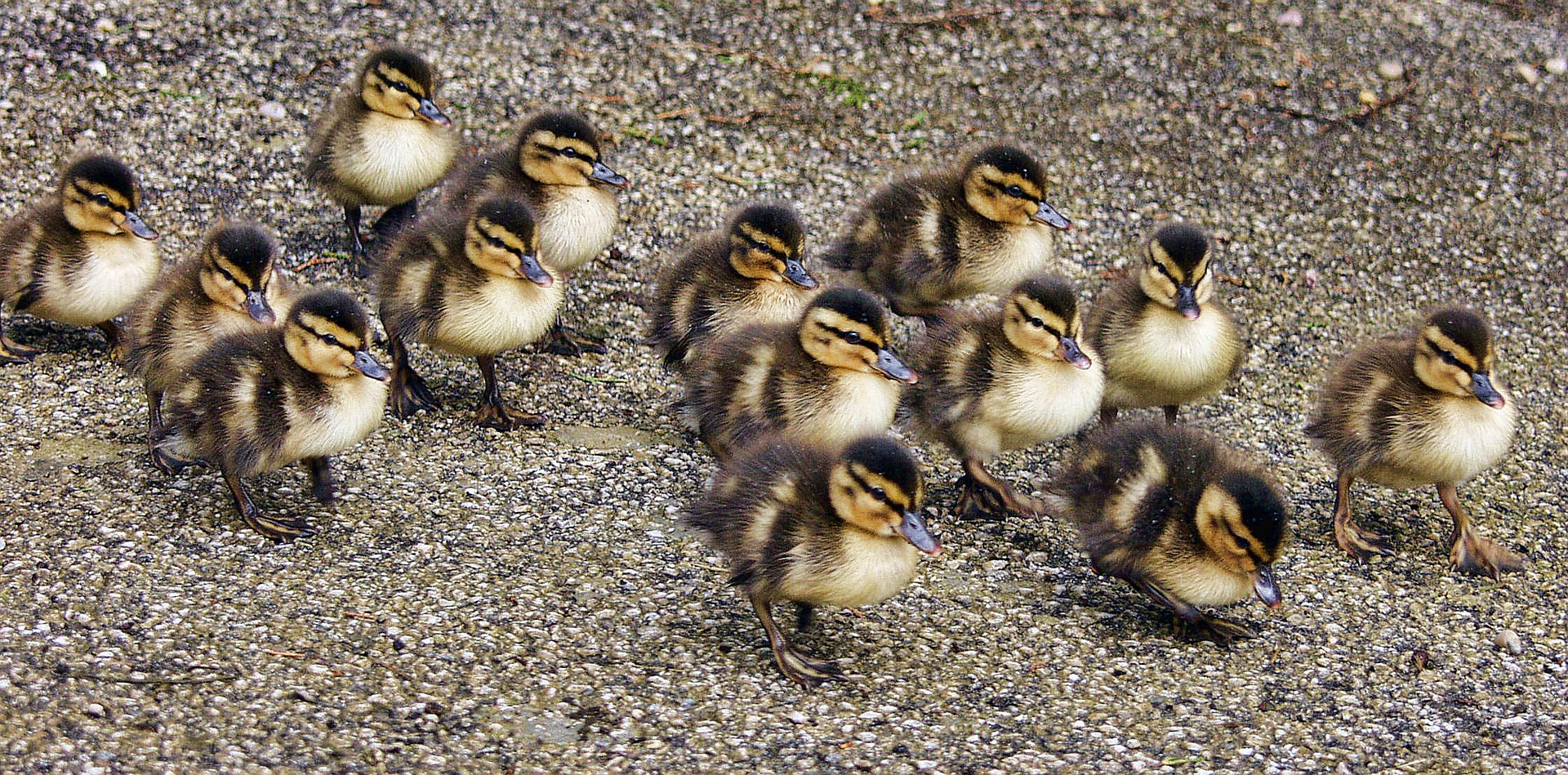 Baby ducks guide – 5 things you must know!