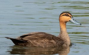 Forest Duck: A Very Rare Breed Information