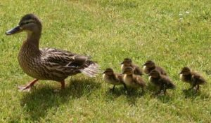 Duck imprinting – 9 important things to know about imprinting | iduckn.com